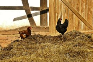 Zwei Hühner sind im Stall auf einem Haufen Stroh zu sehen. Der Stall ista uf Holz.