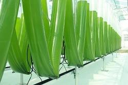 Auf dem Bild sind die Folienschläuche der Algenfarm von Evergreen Foods abgebildet. Sie befinden sich in einem Gewächshaus. Auf dem Bild sind drei geknickte Schläuche zu erkennen.