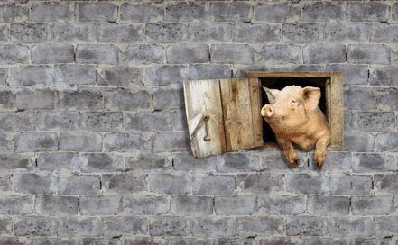 Ein Schwein, das aus einem Fenster, das inmitten einer Steinwand ist, rausguckt.