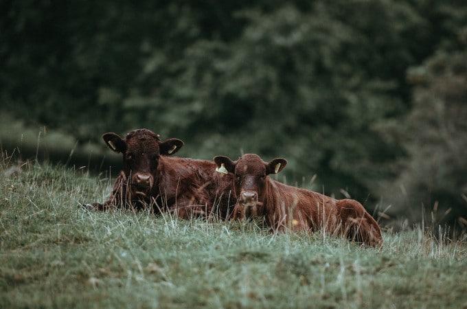 WIese_Kuh_Tierwohl_Nachhaltigkeit_Food Professionals
