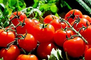 Auf dem Bild sind saftige, rote Tomaten zu sehen.