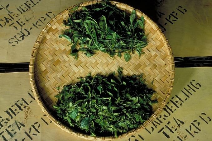 Tee_Bio_Pflanze_Teeverband
