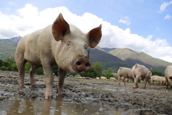 Nachhaltigkeit_Tierwohl_Schwein_Wiese