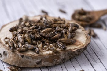 Insekten Grillen essen gegrillt Holz