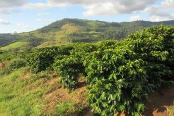 Kaffeeplantage Brasilien Kaffeeanbau