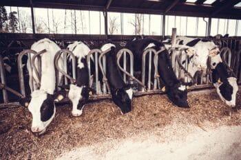 Kühe im Bauernhof