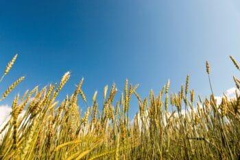 Wiese mit Getreide