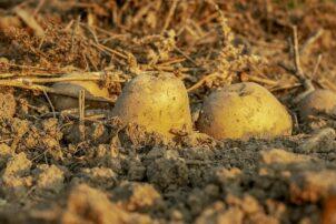 Kartoffel in der Erde